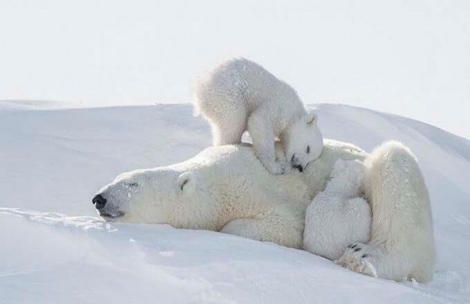 den-belogo-poljarnogo-medvedja