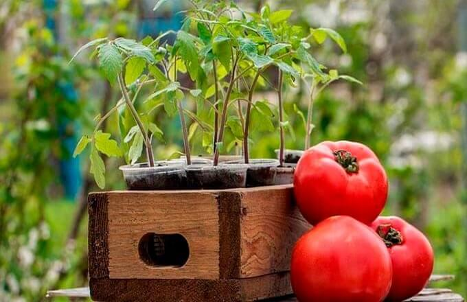 sroki-posadki-pomidorov-po-regionam