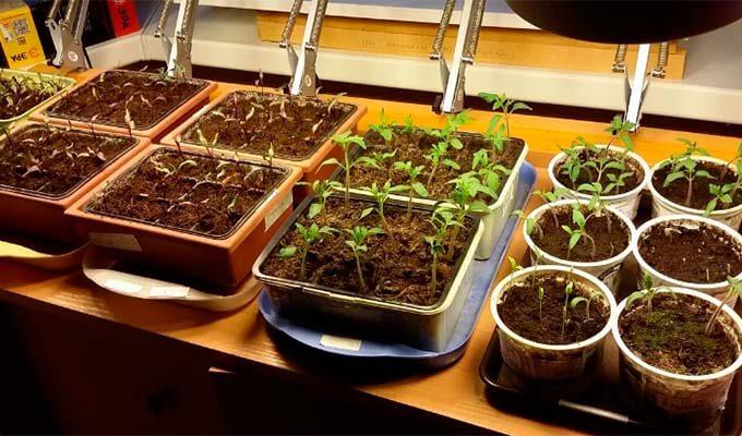 kak-vyrastit-rassadu-pomidor-doma