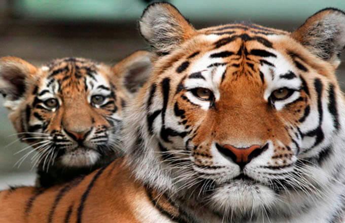 mezhdunarodnyj-den-tigra
