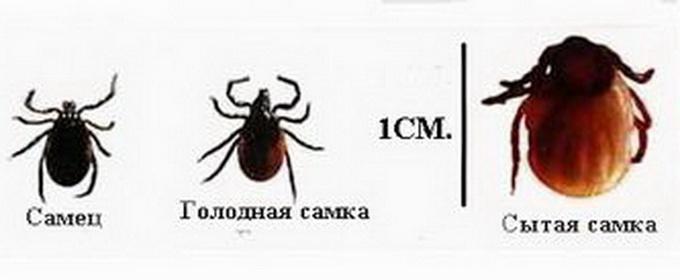 iksodovye-kleshhi